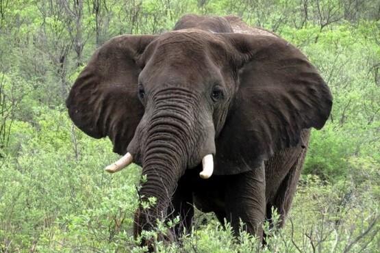 Elefante - safari en Botswana