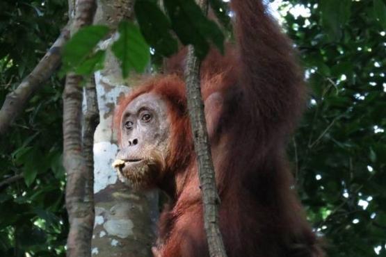 Orangutan en Borneo - Viaje a medida a Indonesia