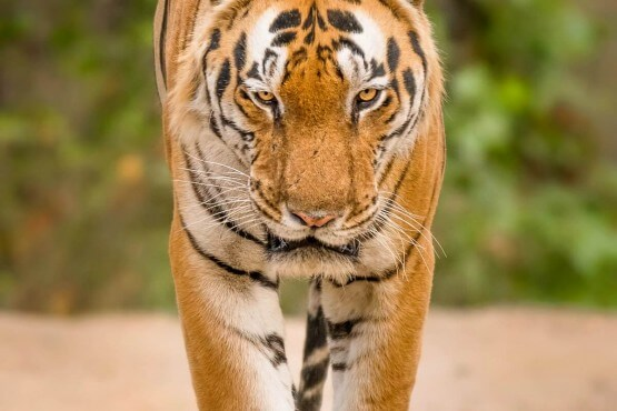 Tigre en Kanha