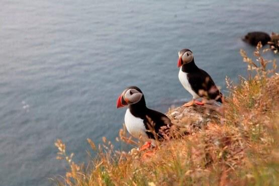 Los preciosos frailecillos en los acantilados de la costa sur de Islandia