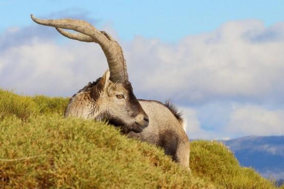 Cabra montesa descansando - Foto de Juan Francisco Redondo