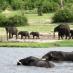 Elefantes en el río Chobe - safari móvil botswana