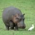 Hipotótamo en Botswana - viaje a botswana en grupo