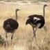 Avestruces en Etosha - safari por Namibia