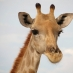 Una simpática jirafa en Etosha - circuito por Namibia