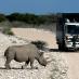 Y nos llegó  la suerte, un rinoceronte en Etosha