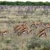 Manada de Sprinbocks - safari en NAmibia