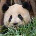 Oso Panda en Chengdú