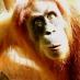 Orangutan Kalimanta