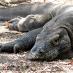 Dragón de Komodo - viaje a medida a Indonesia