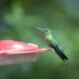 Colibrí en Monteverde - viaje sostenible a Costa Rica