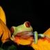 Ranita venenosa - viaje responsable a Costa Rica