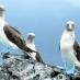 Piqueros de patas azules - viaje a medida a Galápagos