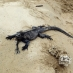 Iguanas en la playa - viaje organizado a Galápagos