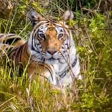 Tigres en India